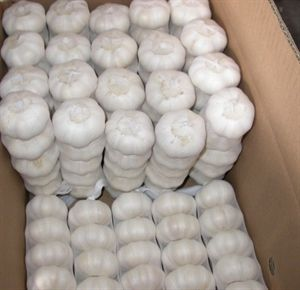 Picture of Fresh Garlic 5pk